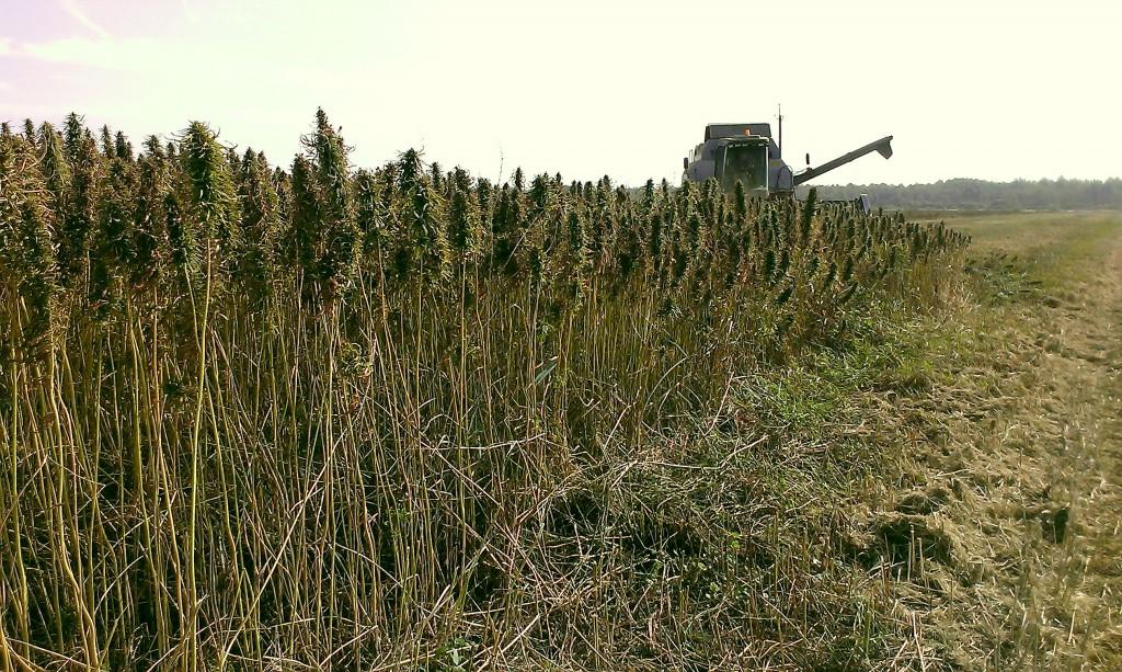 Kanepikoristus Foto: Tammejuure talu